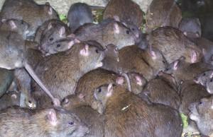 Rats-Caitlin-Mitchell