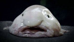 Blobfish_large
