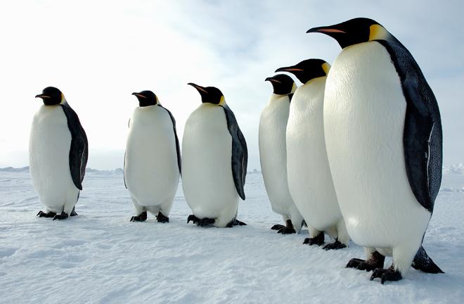 Emperor-penguins_Glenn-Grant-NSF_6601 (1)