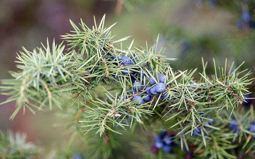 Juniper_berries_2595104k