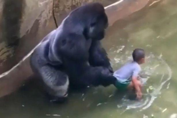 VID-Harambe-a-male-silverback-gorilla-at-Cincinnati-Zoo.jpg